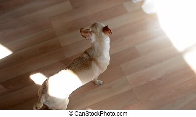 Small dog indoors - Small white dog indoors staying