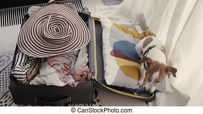 Small dog is lieing in a suitcase - Jack Russell Terrier...