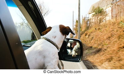 small dog jack russell terrier rides in the car with his head out of the window, 4k.