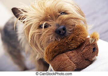 Small Dog Play with Toy - Small Dog Play with Plushy Toy....