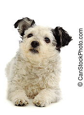 Small dog resting on white background