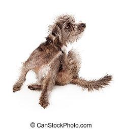 A small scruffy dog scratching an itch