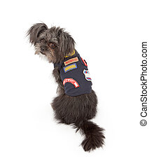 A small mixed breed dog wearing a Dog Scouts outfit that is similar to a Cub or Boy Scout vest