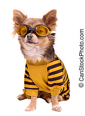 Small dog wearing suit and goggles