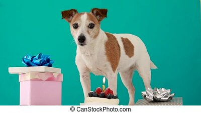 Small dog with brown and white fur stands among presents - ...