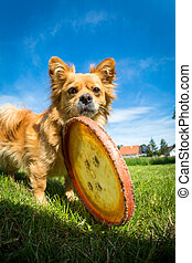 Small dog with frisbee
