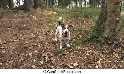 small dog with his toy on meadow in the autumn forest