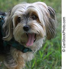 small dog yawns big!