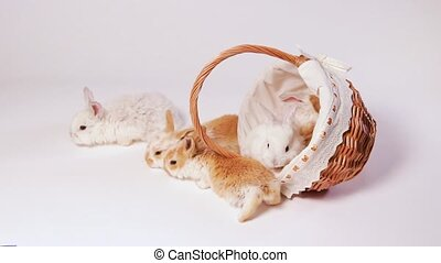 Small domestic rabbits of ginger color are playing in a basket, crawling out of a wicker basket on a white background. Funny Furry Pets Bunny Videos
