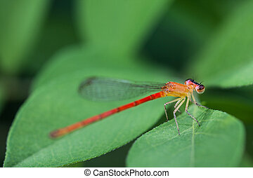 small dragonfly close-up
