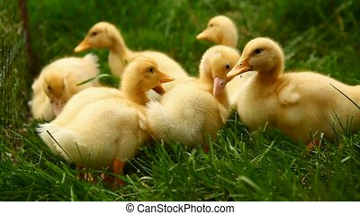 Small ducks in the grass