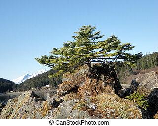 Small Evergreen Tree in Alaska