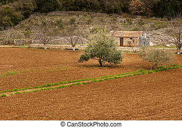 Small farm in Croatia with field an olive tree