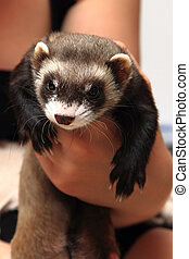 small ferret in the human hands (another pet)