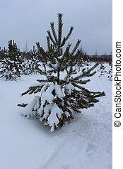 Small fir tree in snow field