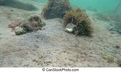 Small fish around a shell picking at it - Florida Keys...