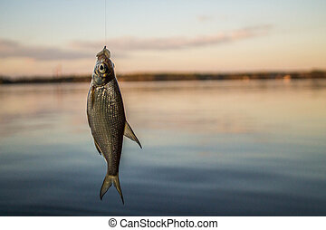 small fish bream on the hook