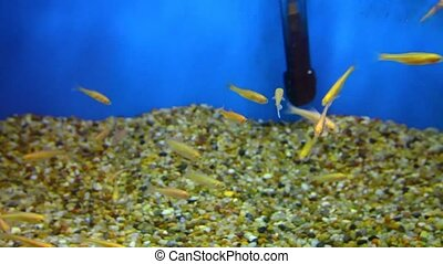 Small fishes are swimming in aquarium - Small yellow fishes ...