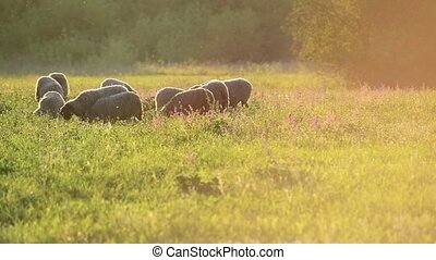 small flock of sheep in a pasture in sunset light