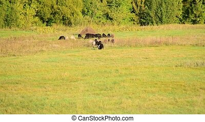 flock of sheep in a pasture in sunset light - small flock of...