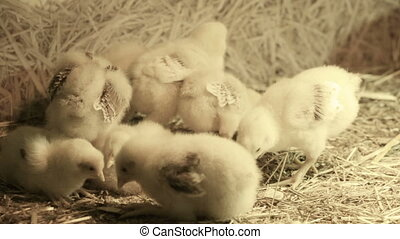 Small fluffy chickens - Little yellow chickens in straw