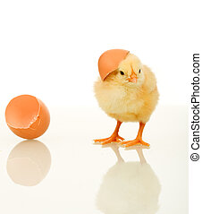 Small fluffy spring chicken with egg shell - isolated