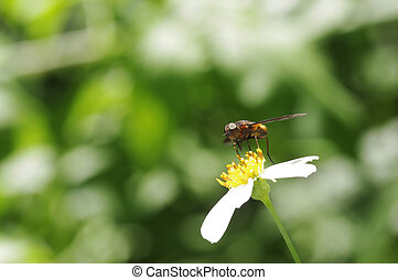 small fly on the wild daisy
