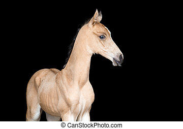 Small foal of a horse on black