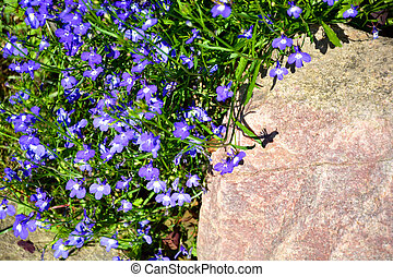 Small forget-me-not flowers grow in a flower bed. Flowering shrubs in the garden design. Beautiful summer landscape on a summer day.