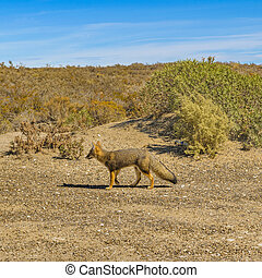 Small fox standing at arid nature in Punta del Marquez, Chubut, Argentina
