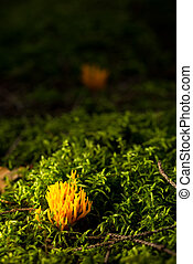 Small fresh ramaria mushroom in green moss