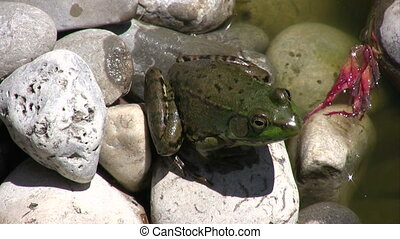 Small Frog on the rocks. - Moving Picture of small green...