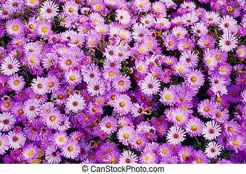 Small garden Astra flowers. Group of Alpine asters (Aster Alpinus)