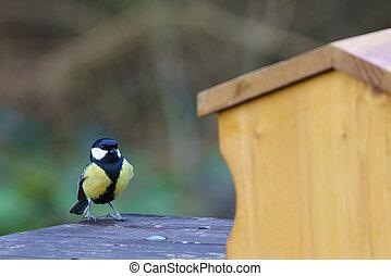Small garden bird great tit - Parus major. Feeding in winter time in bird feeder.