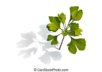 small ginkgo tree on the white background