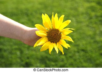 Small girl holds beautiful sunflower