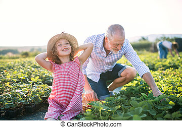 Small girl with grandfather picking strawberries on the farm.