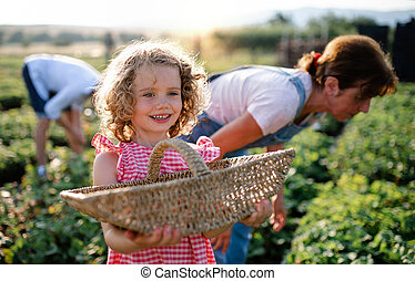 Small girl with grandmother picking strawberries on the farm.