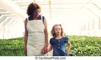 Small girl with senior grandmother walking in the greenhouse...