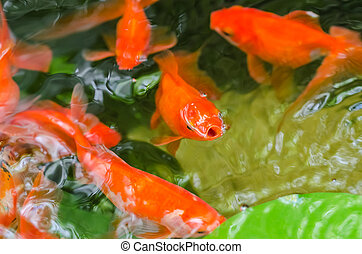 Small Goldfish In A Pond Close Up