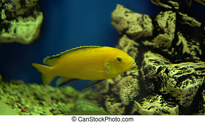 small goldfish swims in aquarium