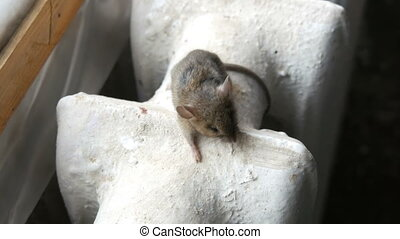 Small gray house mouse sits on a vintage old cast iron...