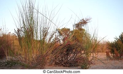small green and yellow bushes over sandy ground and arid blowing in a soft wind