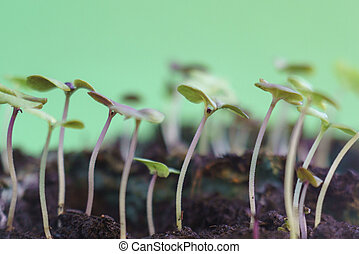 small green basil plants growing in ground germinating from seeds springtime summer nature process