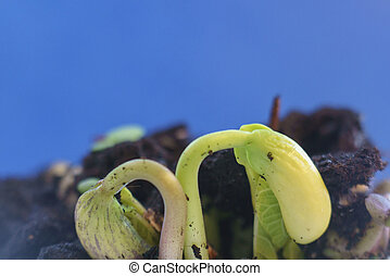 small green bean plants growing in ground germinating from seeds springtime summer nature process