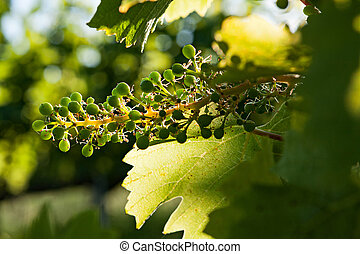 Small green bunch of grapes and leaves on vineyard