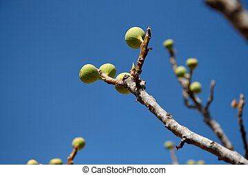Small green figs on the tree on blue sky background