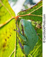 small green frog on a vine leaf