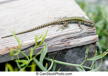 small green lizard on a park bench