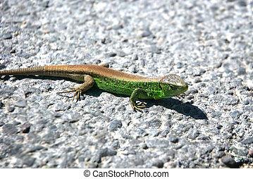 Small green lizard on his way